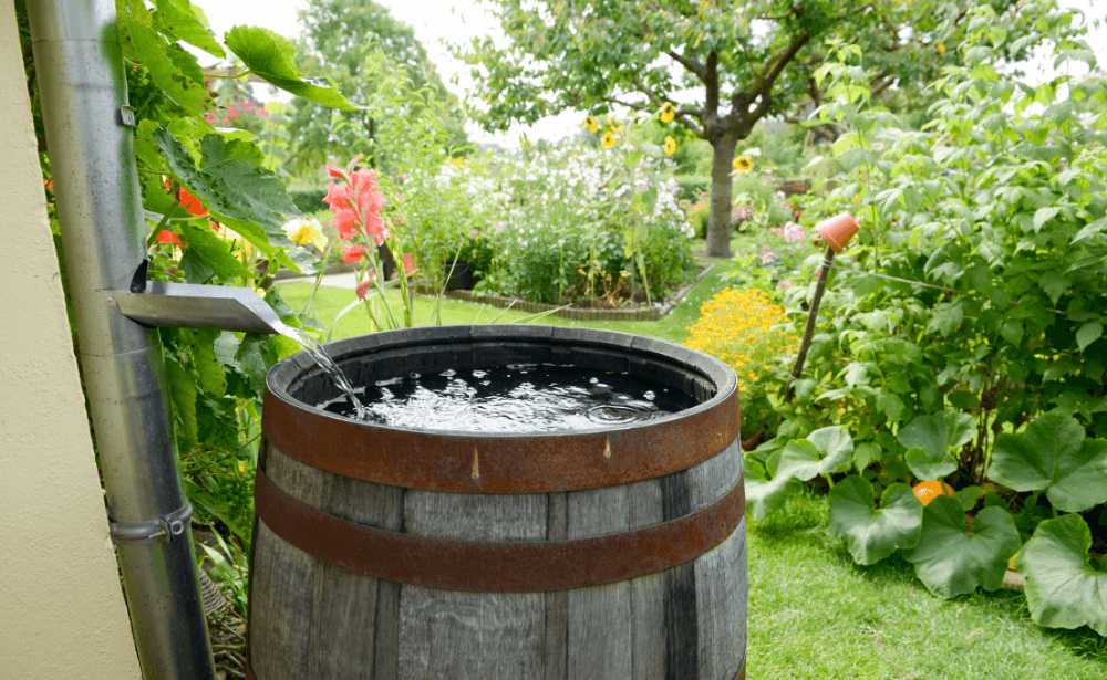 A large barrel collecting rain water from a gutter in a garden.