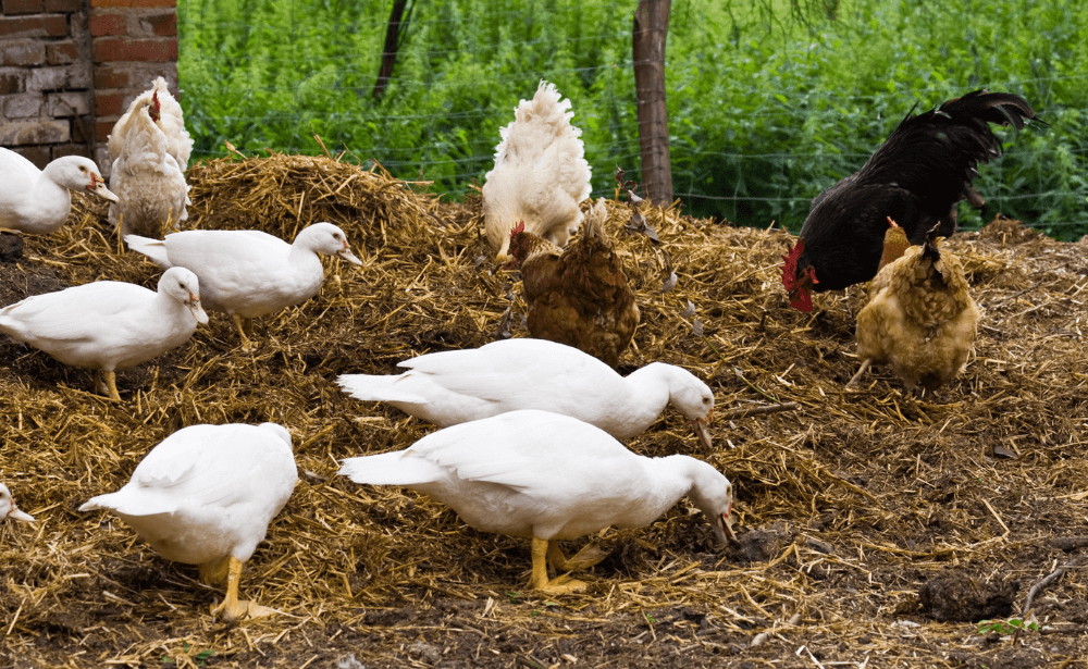 Several white ducks and chickens foraging in a hay stack.