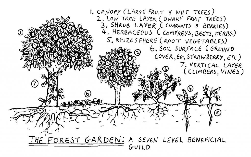 A diagram of forest gardening - a technique of permaculture.