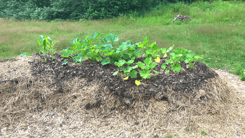 Squash and zucchini growing on top of a hugelkultur mound.
