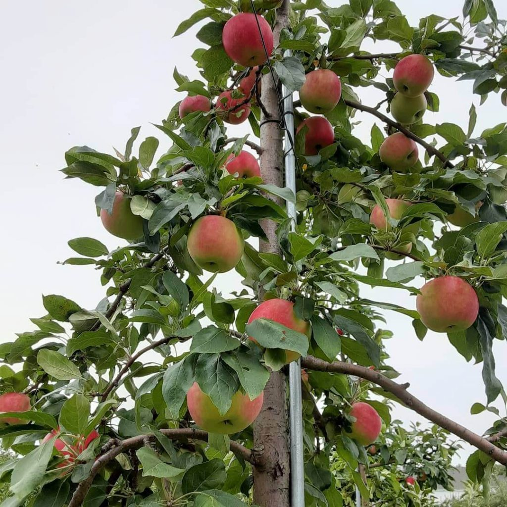 An apple tree with plump red and yellow apples.