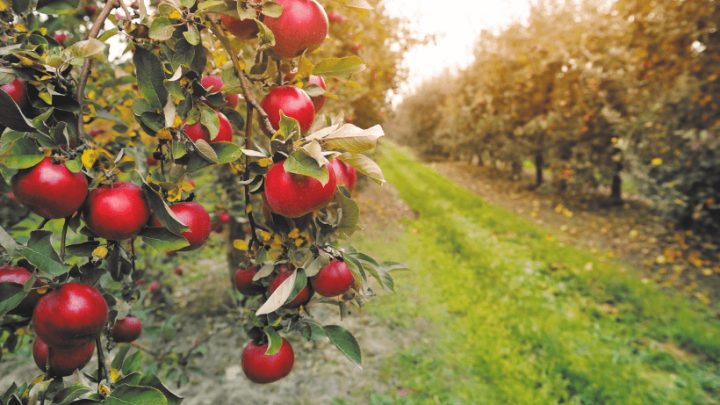 The Best Pick Your Own Apple Orchards in Maine
